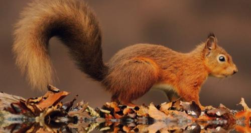 progetto-life---ec---square---la-conservazione-dello-scoiattolo-rosso_1